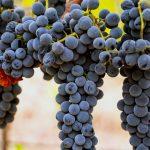 Syrah: Το κόκκινο κρασί που μας κατέκτησε